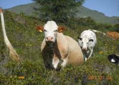kühe-weide