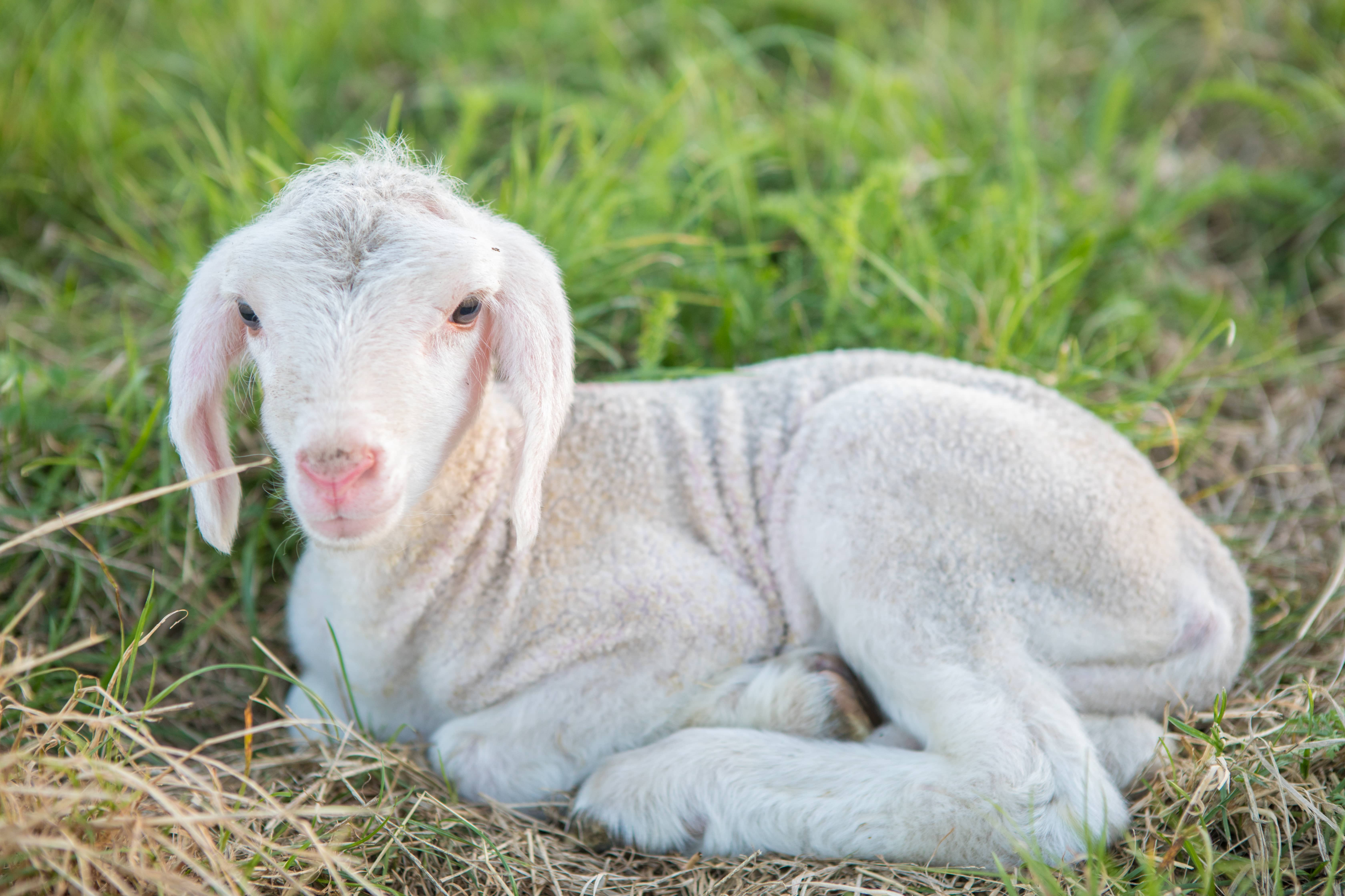 Hoffest in Karlskron gibt Einblick in die Schafhaltung